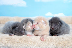 Kittens on blanket sky background. Four one week old kittens eyes still mostly closed laying together on a tan fuzzy bed lined up side by side with blue sky Stock Images