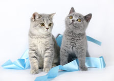 Kittens with blue ribbon Stock Image