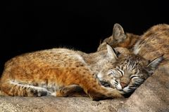Kittens-bobcats. Sleeping kittens Stock Photos