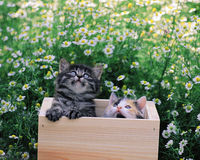 Kittens in the box Stock Photos