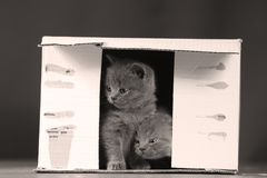 Kittens in box. British Shorthair kittens playing in a box, portrait of cute cat Stock Photo