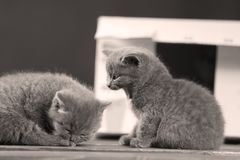 Kittens in box. British Shorthair kittens playing in a box, portrait of cute cat Stock Images