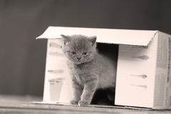 Kittens in box. British Shorthair kittens playing in a box, portrait of cute cat Royalty Free Stock Photo