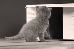 Kittens in box. British Shorthair kittens playing in a box, portrait of cute cat Royalty Free Stock Image