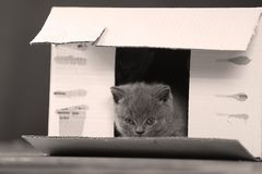 Kittens in box. British Shorthair kittens playing in a box, portrait of cute cat Royalty Free Stock Photos