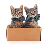 Kittens in the box. Stock Photos