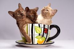 Kittens breed Burma on a light background royalty free stock image