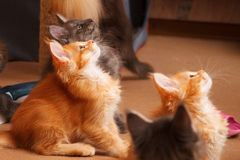 Kittens breed Maine Coon look on the upper hand. Colours of cats: red ticked and Blue smoke.  Stock Photo