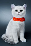 Kittens of the British breed. Royalty Free Stock Photography