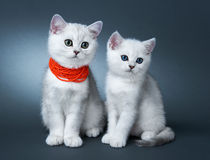 Kittens of the British breed. Stock Images