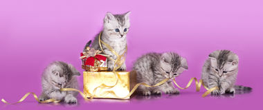 Kittens British and gift royalty free stock images