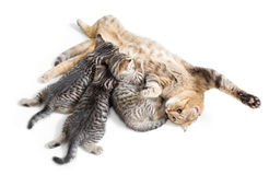 Kittens brood feeding by happy mother cat isolated on white. Background royalty free stock photography