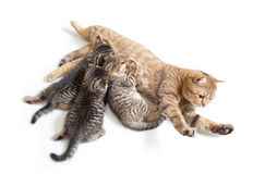 Kittens brood feeding by mother cat Stock Photos