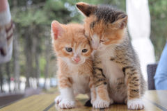 Kittens. Brother and sister kittens are posing Royalty Free Stock Photos