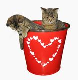 Kittens in a bucket Royalty Free Stock Image