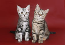 Kittens on burgundy background. Stock Photography