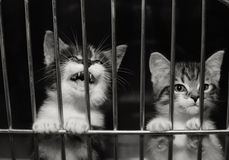 Kittens in a cage. Tiny kittens, paws up on the bars of their cage looking out, one is meowing. Black and white image stock image