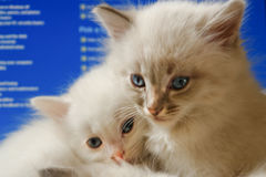 Kittens with computer screen background Stock Photo