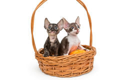 Kittens Cornish Rex in a basket Stock Photography