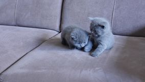 Kittens on the couch. British Shorthair babies playing on the couch, close-up view stock footage