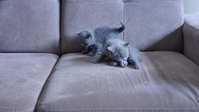 Kittens on the couch. British Shorthair babies playing on the couch, close-up view stock video footage