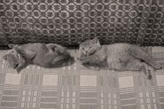 Kittens on the couch. British Shorthair kittens on a handmade rug, cute face looking up Stock Images
