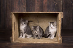 3 Kittens in a Crate. 3 adorable kittens playing in a vintage crate on a rustic wooden backdrop Royalty Free Stock Photo