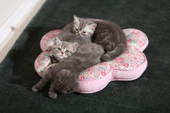 Kittens cuddled on pillow Royalty Free Stock Images