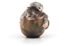Kittens in cup Stock Image