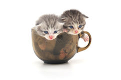 Kittens in cup Royalty Free Stock Photos