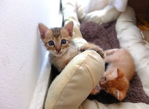 Kittens on cushion Royalty Free Stock Photography