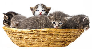 Kittens. Cute little kittens in a basket Stock Images