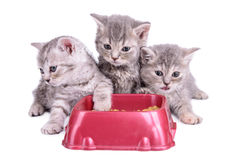 Kittens eat diet food Royalty Free Stock Photography
