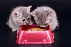 Kittens eat diet food Royalty Free Stock Photos