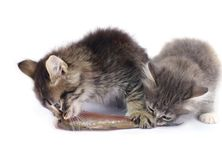 Kittens eat fish Royalty Free Stock Photos