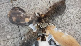 Kittens eat food, top view. Kittens eat food, top view stock footage
