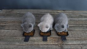 Kittens eating pet food from small trays stock video