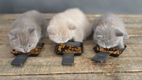 Kittens eating pet food from small trays stock video footage