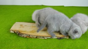 Kittens eating raw meat, green background stock video footage