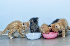 Kittens eating Royalty Free Stock Images