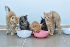 Kittens eating Royalty Free Stock Photography