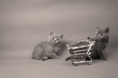 Kittens eating from a shopping cart. Baby kittens eating pet food from a shopping cart, one week old royalty free stock photos