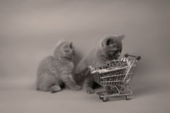 Kittens eating from a shopping cart. Baby kittens eating pet food from a shopping cart, one week old stock images
