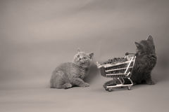 Kittens eating from a shopping cart. Baby kittens eating pet food from a shopping cart, one week old stock photography