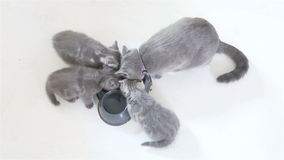 Kittens eating, view from above stock video