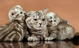 Kittens. Family group of three fluffy  beautiful kitten with mother, breed scottish-fold,  lie on brown  background Royalty Free Stock Photo