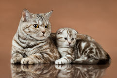 Kittens. Family group of two fluffy  beautiful kitten with mother, breed scottish-fold,  lie on brown  background Royalty Free Stock Photos
