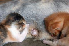 Kittens feeding on milk Stock Photos