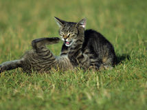Kittens in the fight Royalty Free Stock Images