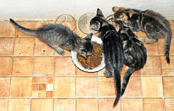 Kittens 3. Four cute kittens eating together Royalty Free Stock Image